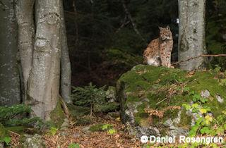 A lynx in the Bayerisher Wald enclosure, Germany. © Daniel Rosengren