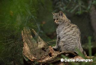 A Wild Cat in the Bayerisher Wald enclosure, Germany. © Daniel Rosengren