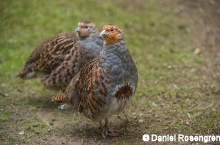 DTR_1873_Grey_Partridge_resize_copy